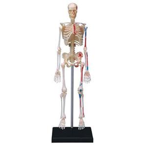Anatomiemodel Skelet