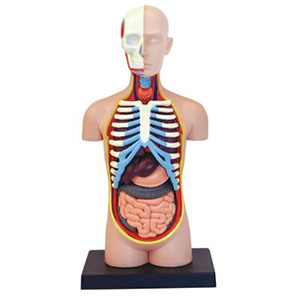 Anatomiemodel Torso